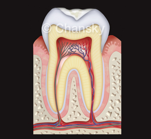 Medical Illustration Tooth